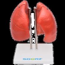 Manequim Pulmão Segmentado para Anatomia com 4 Partes - SDORF SCIENTIFIC