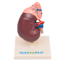 Manequim Rim com Glândula Supradrenal 2 partes - SDORF SCIENTIFIC