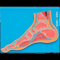 Manequim Secção Mediana do Pé para Anatomia - SDORF SCIENTIFIC